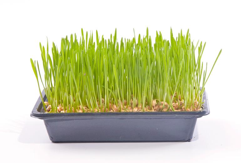 770x520px_wheatgrass4